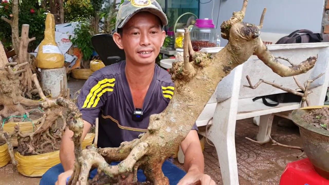 CHÀO BÁN PHÔI MAI VÀNG CẦN THƠ ngày 20/9/2020☎ 0344 643 226 A PHONG 😍 bonsai can tho