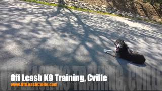 Chasing Cars Is Detrimental To A Pups Life! | Dog Training Charlottesville