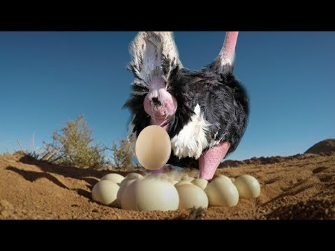 Ostrich Laying Eggs And Cute Ostrich Egg Hatching In The Wild