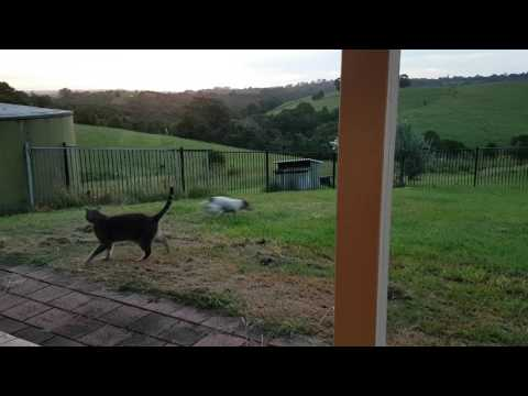 "Cats and dogs playing together "" Cute dog Bella gets the zoomies with Felix the cat!"""