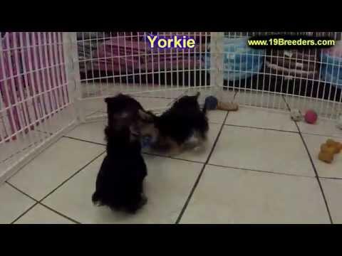 Yorkshire Terrier Yorkie Puppies Dogs For Sale In Virginia Beach Virginia Va 19breeders