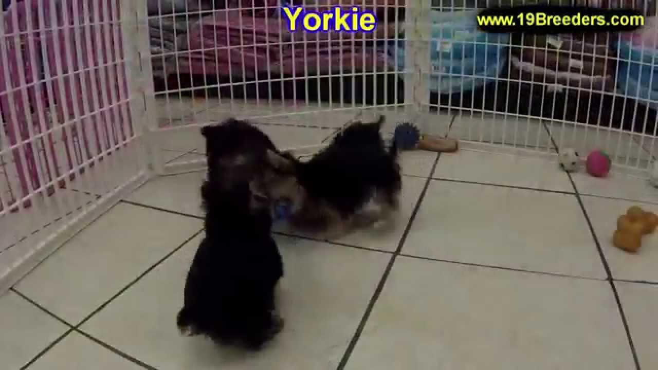 Yorkshire Terrier, Yorkie, Puppies, Dogs, For Sale, In ...