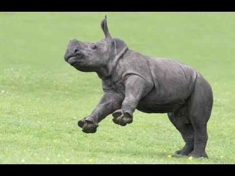 Brave safari drivers rescue baby Rhino from Lions in Ngorongoro Tanzania