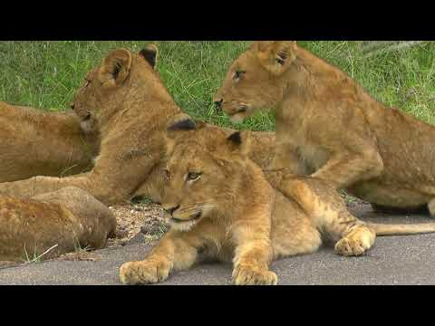 SOUTH AFRICA Touching And Exciting Moments In Kruger National Park (the South)