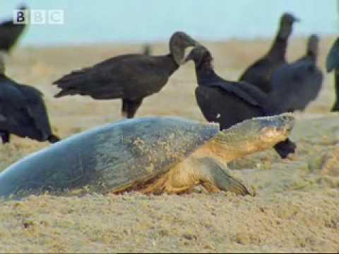Giant turtles vs vultures  - BBC wildlife