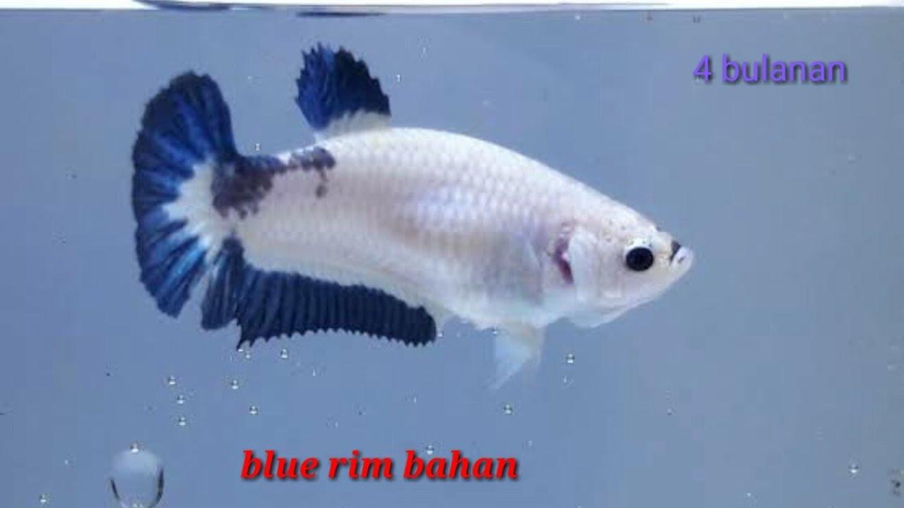 Ikan cupang jenis blue rim bahan 4 bulan - YouTube