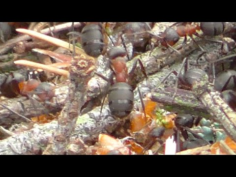 German Yard Animals Pt. 3: Active Ants (Ameisen) Building Their Palace, May 2015