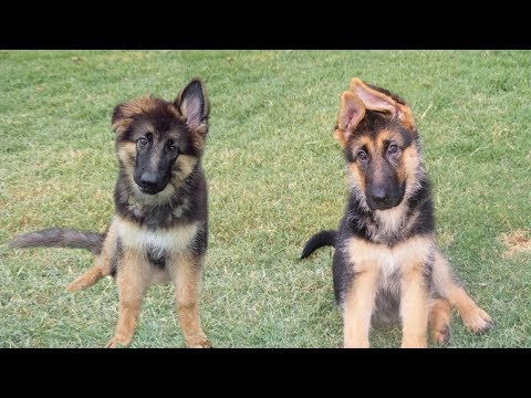AMAZING ! Talent Dog ears dance to music | FUNNY pets compilation
