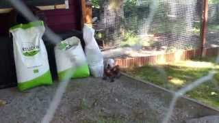 Unser Hühnergehege - Auslauf Hühner sicher gestalten!