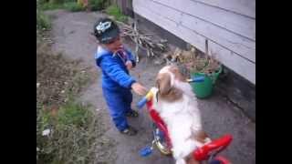 Собака пекинес на велосипеде (Pekinese dog on a bicycle)