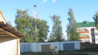 Николаевские голуби Воронежской области