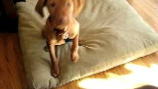 vizsla puppy 3 mo. what manners