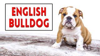 English Bulldog | Complete Dog Breed Guide | Petmoo #EnglishBulldog