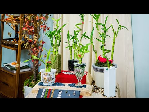 Lucky Bamboo Care And Display Home Family Youtube