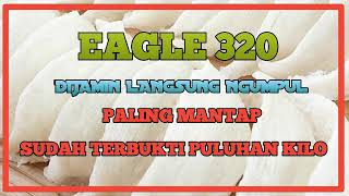 SUARA WALET EAGLE 320 PANGGIL  PALING MANTAP SUDAH TERBUKTI