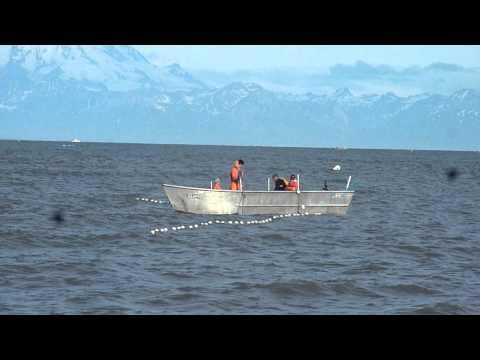 Picking fish in Cook Inlet, Alaska