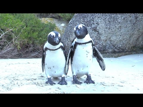 When Penguins ATTACK (adorably) at Boulders Beach, South Africa