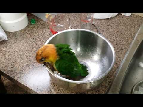 Maverick the White-bellied Caique takes a bath