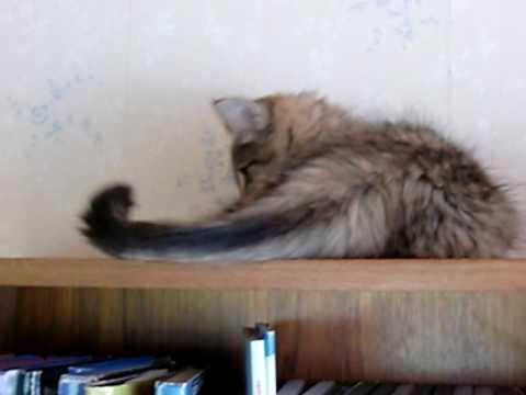 Norsk Skogkatt kattunge jagar sin egen svans