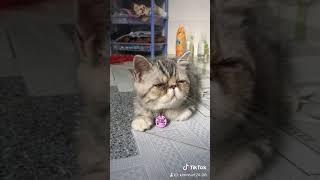 Mèo exotic