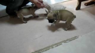 フレンチブルドッグの子犬たちが産まれています。フォーンの女の子と男...