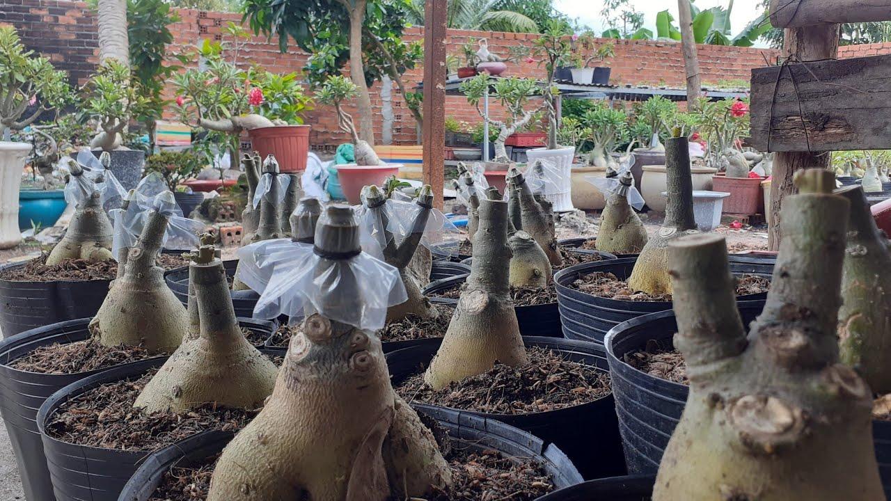 Trồng và nhân giống sứ đột biến san hô ! và những lời tâm sự @Hoa sứ tây ninh