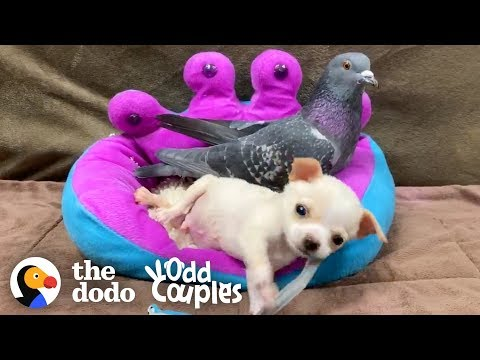 This Pigeon Adopted a TeenyTiny Chihuahua | The Dodo Odd Couples