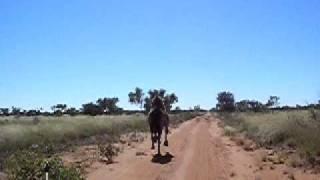 Champion Camel, Tanami desert, between Yuendumu and Willowra