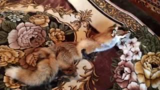 Выделанные шкуры, мех лисы в Туле, Москве(, 2017-02-03T06:52:27.000Z)