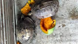 CARA KURA-KURA MAKAN MANGGA (THE WAY YOUR TORTOISES EAT MANGGOES)