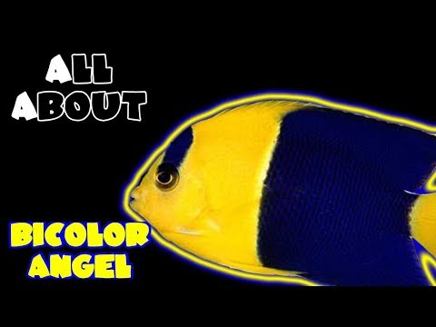 All About The BiColor Angelfish