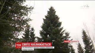 На Прикарпатті готуються зрізати головне новорічне дерево України