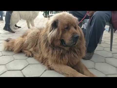 8th Grand Dog Show - Tibetan Mastiff