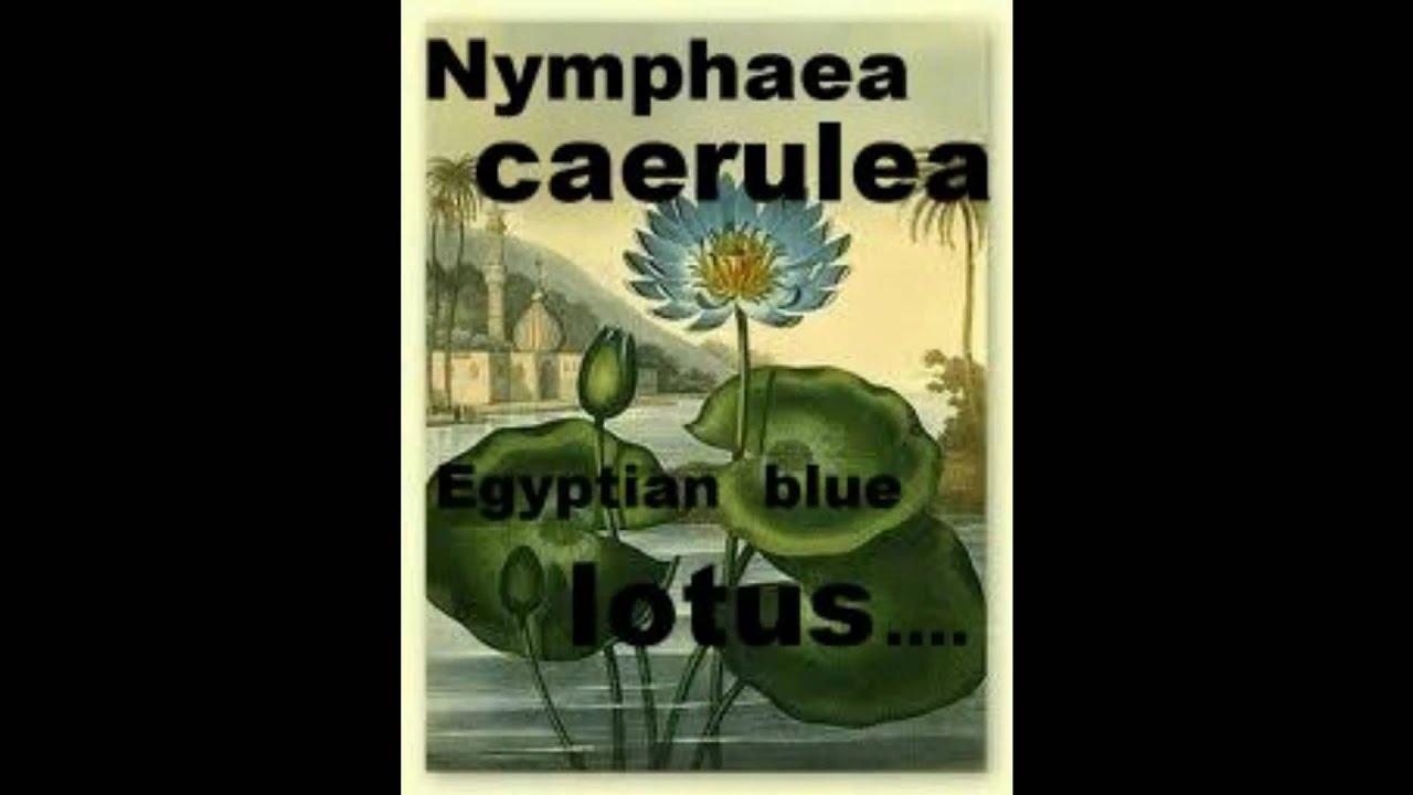 Nymphaea caerulea egyptian blue lotus youtube izmirmasajfo