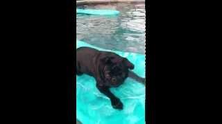 Doug The Pug In The Pool.