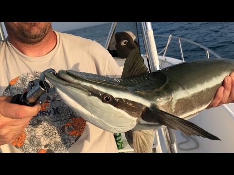 WAIT FOR IT!!! Will A Remora Stick To Our Boat???