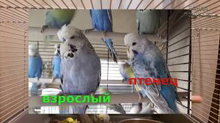 📚 ✉ Покупка волнистого попугая в зоомагазине || Как определить возраст?