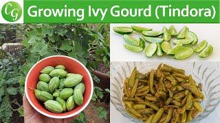 How To Grow Ivy Gourd (Tindora or Tondli) PLUS Recipe!
