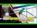 Wedan Nekad Gantang Ditengah Hujan Deras Burung Ini Malah Makin Nagen Ini Rahasia Yg Sngt Biasa  Mp3 - Mp4 Download