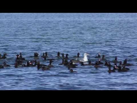 SEA BIRDS canadian waters