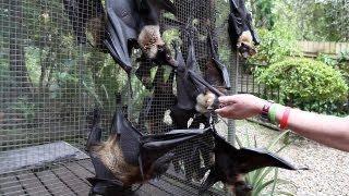 GREY-HEADED FLYING FOX grabs the camera and sticks his finger into it