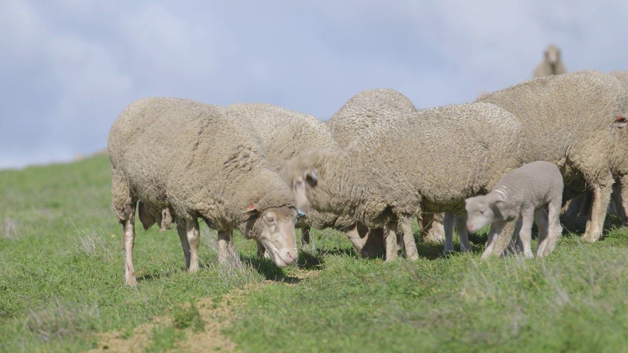Supplementary feeding and feed budgeting for sheep | Agriculture and
