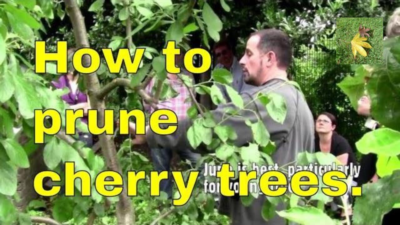 Best Time To Prune Cherry Trees Uk Laptrinhx News
