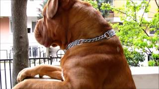 Dogue de Bordeaux  **Babu** Handsome boy's daily life