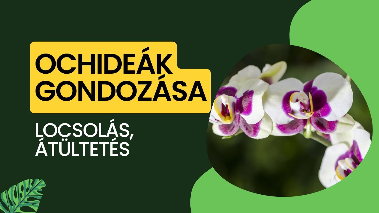 Download Orchidea gondozása, átültetése és locsolása | #LetsLeaf #Oázis