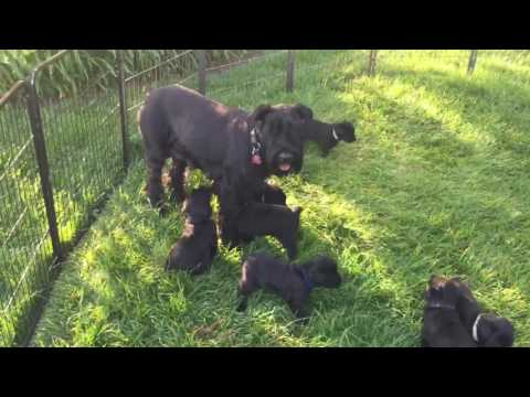 Giant Schnauzer Pups Four Weeks Old Enjoying Beautiful Kentucky Day