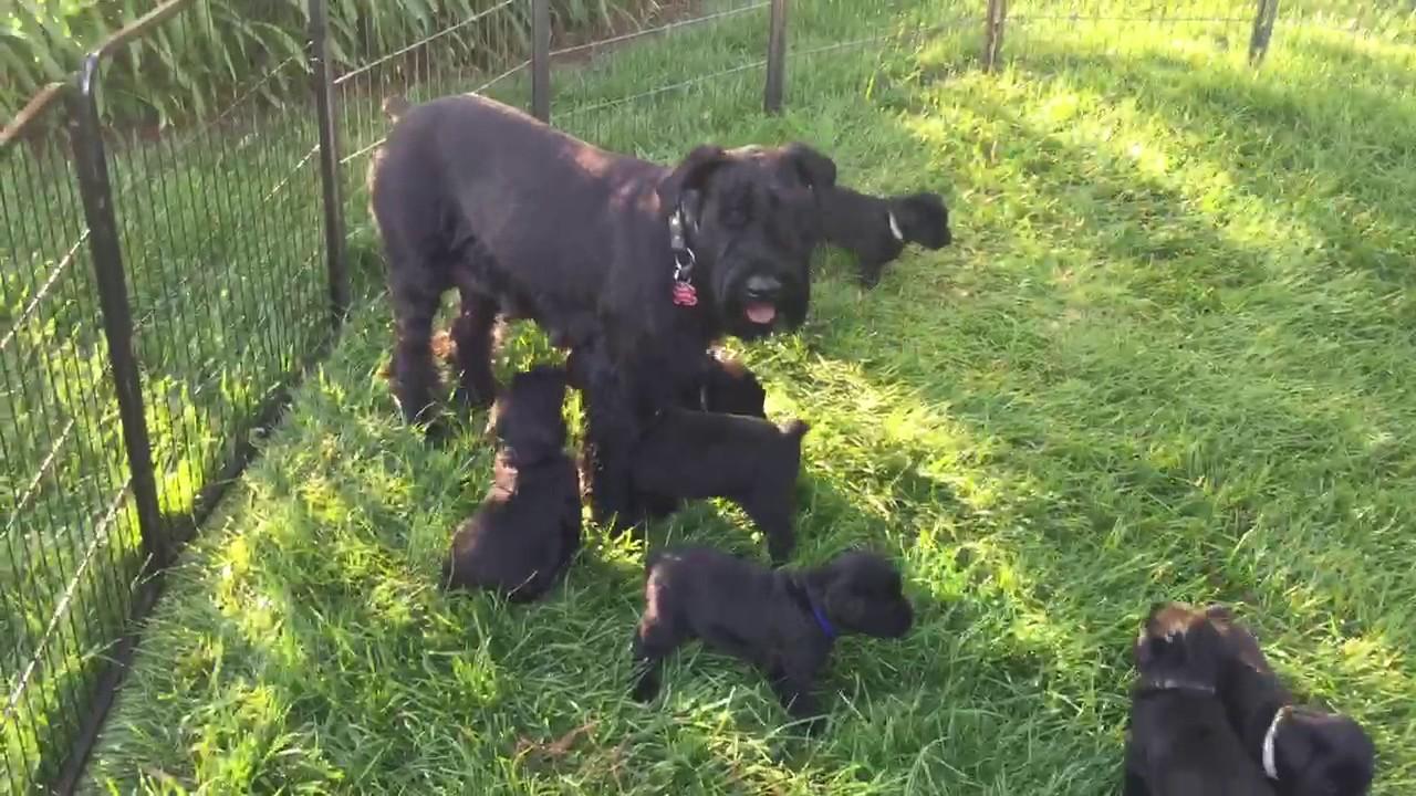 Giant Schnauzer Protection Dog Sales