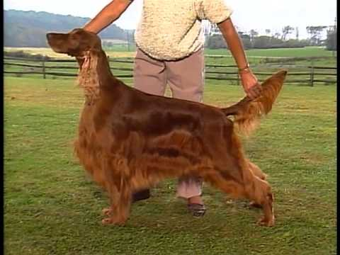 Setter Overview - AKC Dog Breed Series