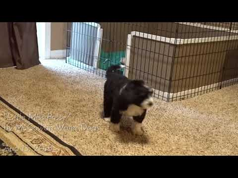 Little Miss Prissy the Portuguese Water Dog Puppy