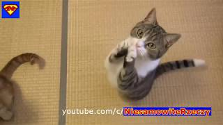 HD THE MOST FUNNY CATS OCT, 2018